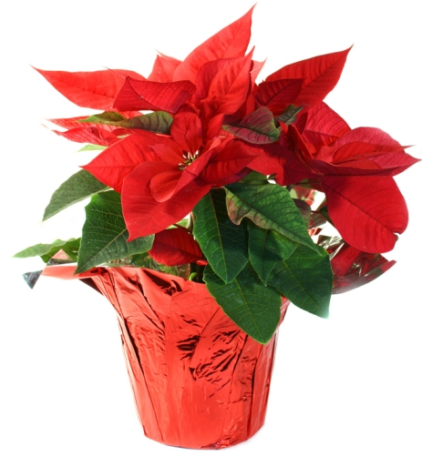 Poinsettias may be purchased in memory or to honor a loved one
